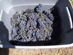pinot/Merlot grapes